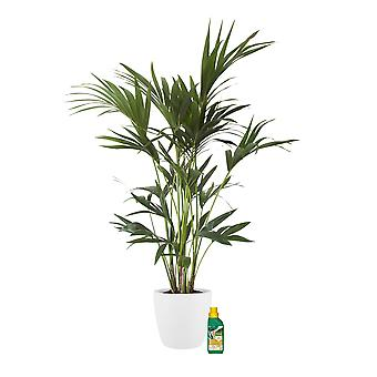 Indoor Plant – Kentia palm in white plant pot + 250 ml of fertilizer as a set – Height: 110 cm