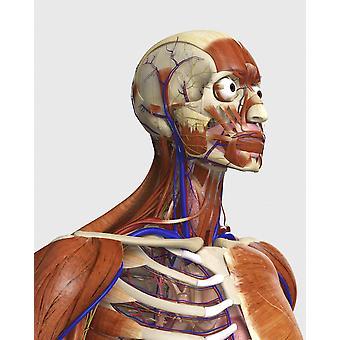 Seitenansicht zeigt menschliche Knochen mit Muskeln und Herz-Kreislauf-System Poster Print