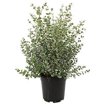 Eucalyptus - Height 65 - Diameter pot 25