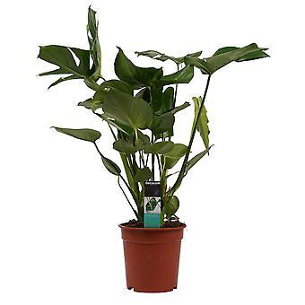 Monstera Deliciosa ↕ 70 a 75 cm disponibile con fioriera   Monstera Deliciosa