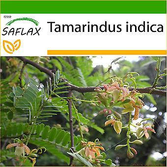 Saflax - 4 Samen - mit Boden - Tamarind - Tamarinier - Dattier d'Inde - Dattero dell'India - Tamarindo - Tamarinde / Indischer Dattelbaum