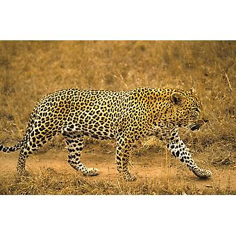 Mies Leopard PosterPrint