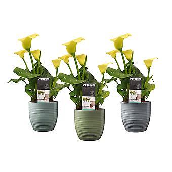 Fleurs de Botanicly – 3 × Zantedeschia aethiopica – Hauteur: 40 cm