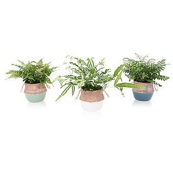 Fougères – 3 × Nephrolepis Duffi en pot céramique à motifs comme un ensemble – Hauteur: 48 cm