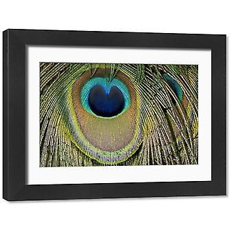 Szczegóły indyjskich piór ogona pawia. Duże zdjęcie w ramce. Szczegóły indyjskich piór ogona pawia.