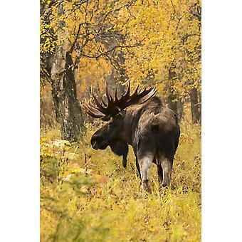 紅葉色ダグ Lindstrand デザイン写真によって中南のアラスカ アラスカ アメリカ合衆国のポスター印刷の立っている枝角を持つヘラジカ