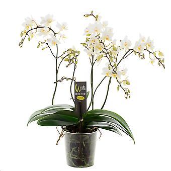 Orchidee van Botanicly – Vlinder orchidee – Hoogte: 45 cm, 4 takken – Phalaenopsis Wild White