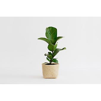 "4"" Mini Fig Plant +  Penan Basket"