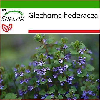 Saflax - 75 Samen - Mit Erde - gemahlener Efeu - Lierre terrestre - Edera terrestre - Hiedra terrestre - Gundermann / Gundelreebe