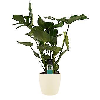 Plantas Interiores de Botanicamente – Monstera Deliciosa em vaso de plantas creme como um conjunto – Altura: 69 cm