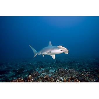 Hawaii Molokai Scalloped Hammerhead shark (Sphyrna lewini) swimming on the ocean floor PosterPrint