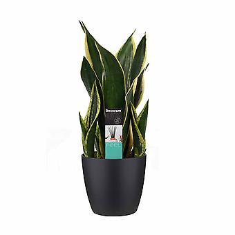 Kamerplant – Vrouwentongen incl. sierpot zwart als set – Hoogte: 55 cm