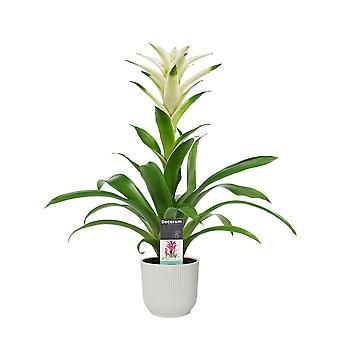 Blume – Guzmanie in weißem ELHO Kunststoff Übertopf als Set – Höhe: 60 cm