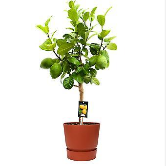 Obstpflanze von Botanicly – Citrus Bergamot – Höhe: 85 cm