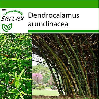 Saflax - 50 frø - med jord - stor vanskelige bambus - Bambou géant épineux - Bambù spinoso - Bambu de interiør - Großer Dornenbambus