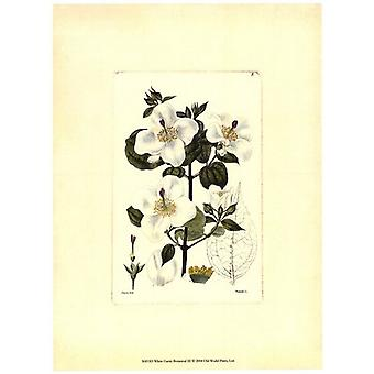 White Curtis Botanical III Poster Print by Vision studio (10 x 13)