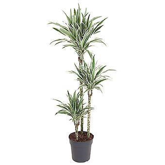 Plante d'intérieur de Botanicly – Dragonnier – Hauteur: 130 cm – Dracaena derem. White Stripe