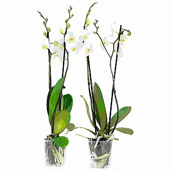 Choice of Green - 2 Phalaenopsis Springtime or Butterfly Orchid