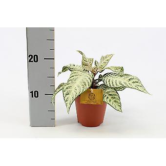 Samambaia de Botanicamente – Aphelandra White Wash – Altura: 30 cm