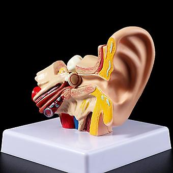 Medical Props Model 1.5 Times Life Size Human Ear Anatomy Teaching