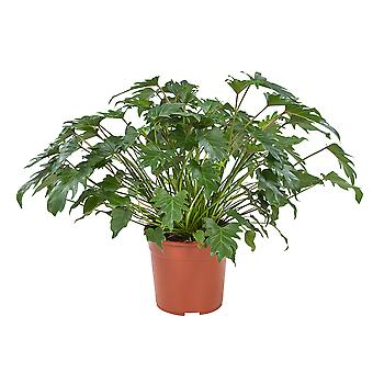 Philodendron Xanadu - Wysokość 70 cm - Garnek średnicy 27 cm