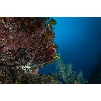 Languster i en crevase af reef Roatan Honduras plakat Print af Brandi MuellerStocktrek billeder