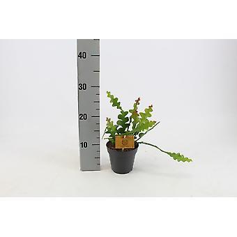 Zimmerpflanze von Botanicly – Sägeblattkaktus – Höhe: 30 cm – Epiphyllum Anguliger