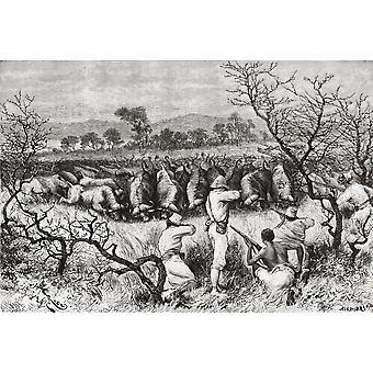 Buffalo di caccia In Africa centrale nel tardo XIX secolo dal libro Africa Pintoresca pubblicato 1888 PosterPrint