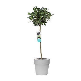 Zimmerpflanze von Botanicly – Lorbeer – Höhe: 110 cm – Laurus Nobilis