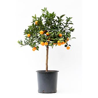 Planta de Frutas de Botanicly – Citrus Calamondin – Altura: 80 cm