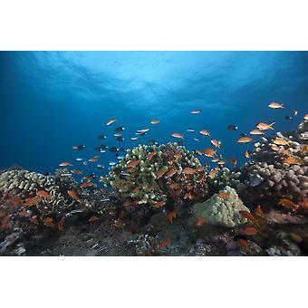 Scholing anthias vis en gezonde koralen van Beqa Lagoon Fiji Poster Print