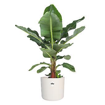 Musa - Roślina bananowa - w ELHO® B.FOR SOFT ozdobny garnek biały - Wysokość 80 cm - Garnek średnicy 30 cm