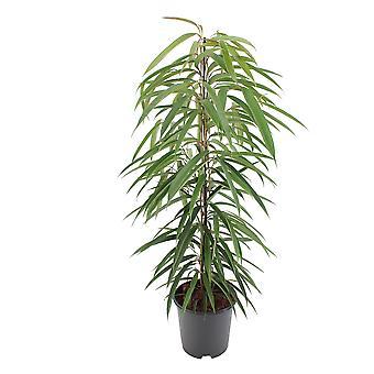 Inomhusväxt från Botanicly – Smalt blad Fikon – Höjd: 105 cm – Ficus binnendijkii Alii