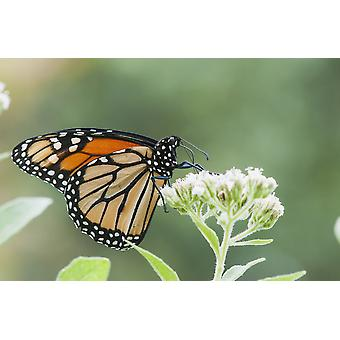 A Monarch Butterfly (Danaus Plexippus) Resting On Small White Flowers Vian Oklahoma United States Of America PosterPrint