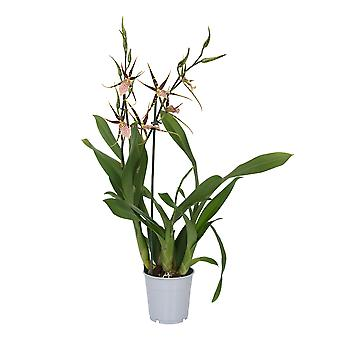 Keuze van Green-Orchid Brassia Shelob Tolkien 3 takken