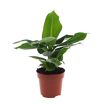 Kamerplant van Botanicly – Bananen plant – Hoogte: 40 cm – Musa Tropicana