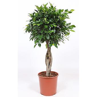 Zimmerpflanze von Botanicly – Chinesische Feige – Höhe: 130 cm – Ficus Microcarpa Nitida