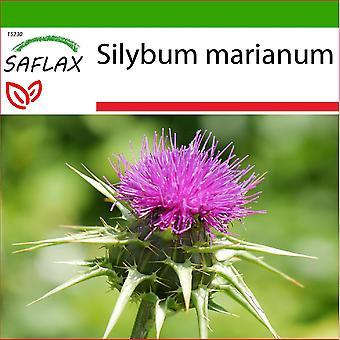 Saflax - 75 seeds - With soil - Milk thistle - Chardon-Marie - Cardo mariano - Cardo mariano - Mariendistel