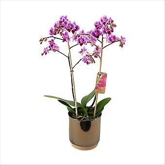 Vlinder orchidee ↕ 50 cm verkrijgbaar met bloempot | Phalaenopsis Pixie