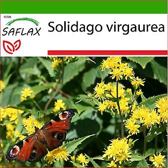 Saflax - 100 Samen - mit Boden - Goldrute - Solidage Rande d ' or - Verga d ' Oro - Vara de Oro - echten Goldrute