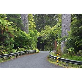 Road between Kauri Trees Waipoua Kauri Forest Northland New Zealand Poster Print by David Wall