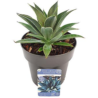 Cactus & Succulent plant from Botanicly – Mangave Lavender Lady – Height: 15 cm