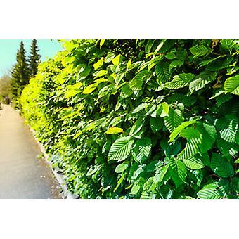 Hornbeam white beech beech 25 piece 60-80 cm height for 6 m hedge of Carpinus betulus