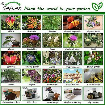 Saflax - 200 semillas - Anise - Anis - anice - Anís - Anis