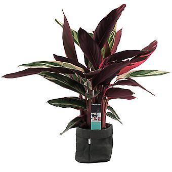 Calathea Stromanthe Triostar ↕ 85 cm disponible avec jardinière | Calathea Stromanthe Triostar