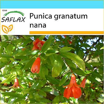Saflax - regalo Set - 50 semi - Melograno Nano - Granatiere nain - Melograno nano - Granado enano - Zwerg - Granatapfel