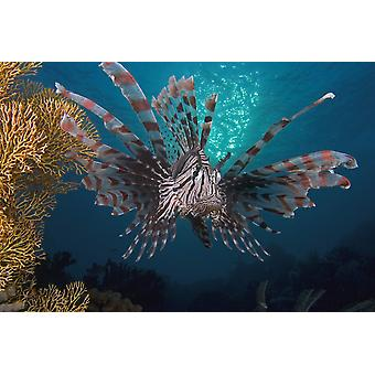"""دجاج البحر Pterois volitans """"طباعة ملصق إندونيسيا"""" """"الصور فوبيكستوكتريك"""""""