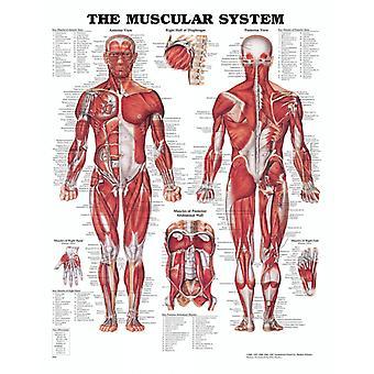 Anatomiplansch - Lihakset (lihaksikas järjestelmä)