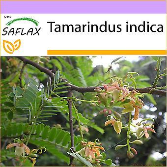 Saflax - 4 sementes - tamarindo - Tamarinier - Dattier d'Inde - Dattero dell'India - Tamarindo - Tamarinde / Indischer Dattelbaum