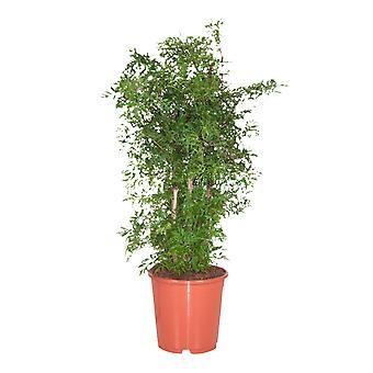 Polyscias fruticosa Ming - Aralia - Wysokość 100 cm - Garnek o średnicy 24 cm